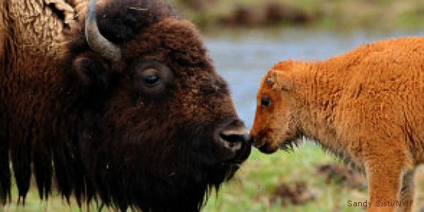 Stop the Slaughter of America's Wild Free-Roaming Bison!