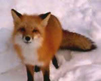 Ban Fox Pens in Virginia