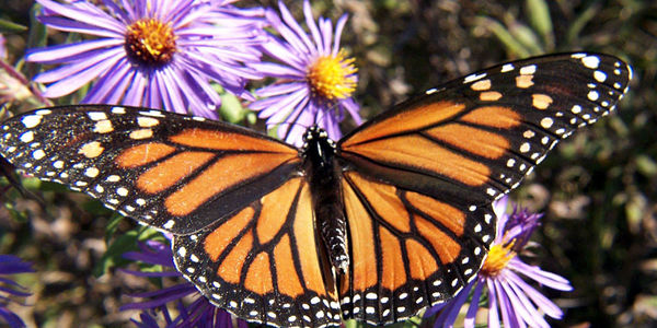 Save Monarch Butterflies from Monstanto