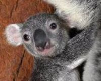Save the koalas from Extinction