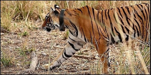Stop Using GPS Collars to Track Tigers