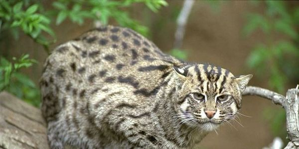 On the brink of extinction , The Iriomote Cat