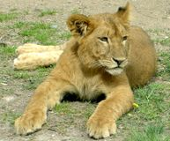 Make Lion Meat Illegal in Illinois