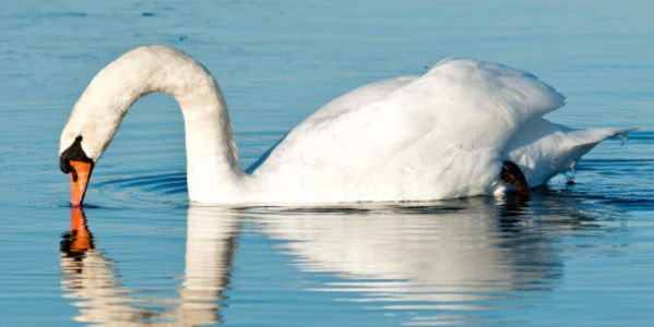 Save Mute Swans In New York City!