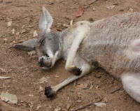 Stop Cruel and Careless Hunting in NSW National Parks