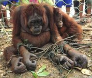 Save Orangutans from Extinction