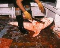 Stop Red Chilli Restaurants Serving Shark Fin