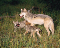 Don't Kill Wolves and Bears Over Reindeer Pate!