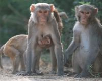 OPPOSE CRUEL MONKEY SLAUGHTER IN INDIA