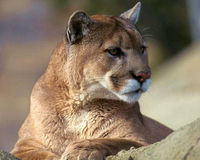 Relocation for Mountain Lions- Not Trap and Kill