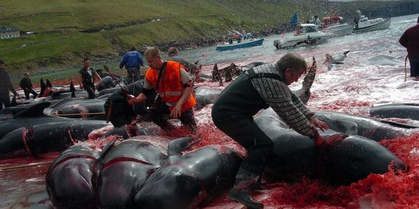 Don't fail the Pilot Whales (Dolphins) of the Faroe Islands!