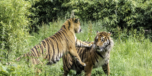 tigers in zoo