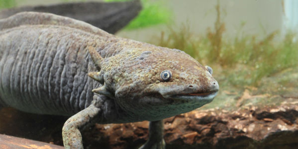 Mexico: Save the Axolotl