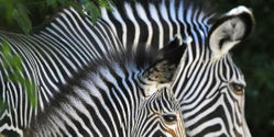 Save Grevy's Zebra from Extinction