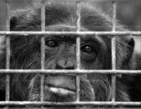 Sanctuary for Retired Chimpanzees