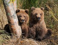Don't Remove Grizzly Bears from Endangered Species List