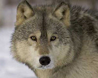 Restore Endangered Species Act Protections to Wolves