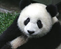 GIANT PANDA SHOULD BE BREEDED THE WAY IT CAN RETURN IN THE WILD