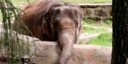 Release Suffering Captive Elephant Lucy to a Sanctuary Now Edmonton Zoo!