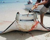Stop The Over Fishing Of Manta Rays