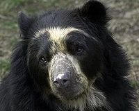 More Protection for the Andean Bear
