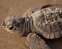 Stop BP from Torching Endangered Sea Turtles