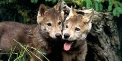 Ask Judge to Reconsider Hunting Wolves with Dogs