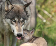 Save Wolves in Wyoming!