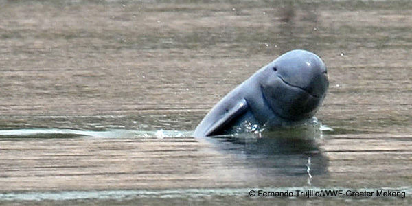 Help Save the Irrawaddy Dolphin!