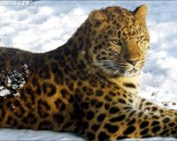 SAVE THE FAR EASTERN LEOPARD