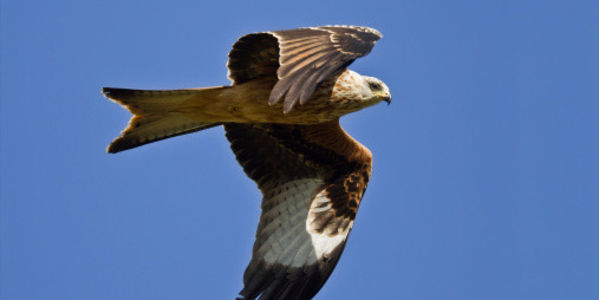 Save British Birds of Prey from Persecution