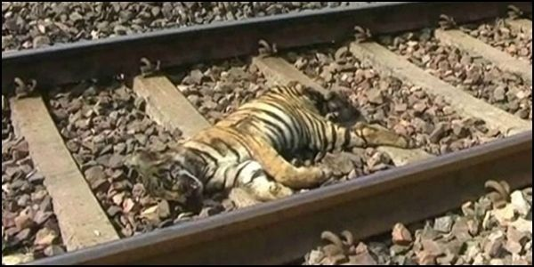 Protect Tigers from Train Collisions in India