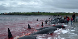 Tell Denmark to End Whale & Dolphin Slaughter in Their Waters!