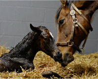 Stop Killing Baby Horses for Hormone Replacement Drug