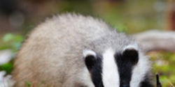 Save Badgers from Slaughter