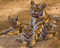 India- Stop Exotic Tree Plantations on Tiger Reserves