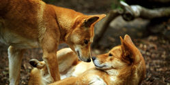Demand Australia to stop poisoning dingoes.