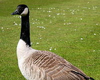 Save The Geese In Long Island