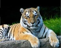 Save Thailand's Tigers from Extinction
