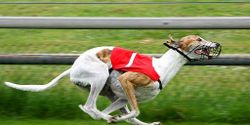 Tell USDA to Include Greyhound Racing in the Animal Welfare Act