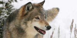 Stop Idaho's Wolf-killing Hired Gun!
