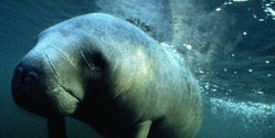 Tell the US Government - Don't Downgrade the Manatee