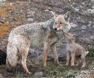 STOP December Coyote Killing Contest In New Mexico!