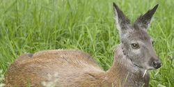 Fire the four Russian environment officials accused of poaching rare Siberian Deer