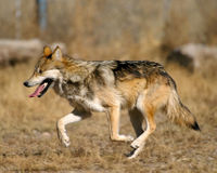 Utah, Anti-Wolf Groups Don't Deserve $300,000!