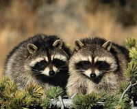 Protect The Raccoons of Central Park NYC