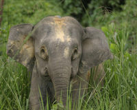 Save the Borneo Pygmy Elephant
