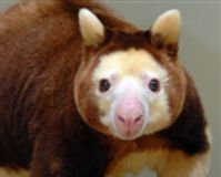 Help Save The Matschie's Tree Kangaroo
