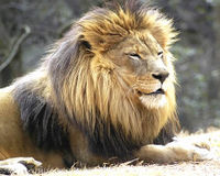 List African Lion as an Endangered Species