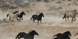 Groups seek protection for North American Wild Horses under Endangered Species Act